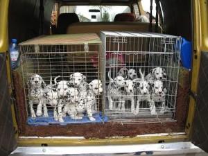 foto's puppies 26  mrt gehoortest  2010 001.1