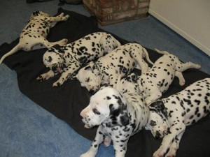 foto's puppies 26  mrt gehoortest  2010 020.1