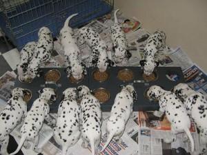 foto's puppies 26  mrt gehoortest  2010 030.1